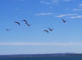 pelicons